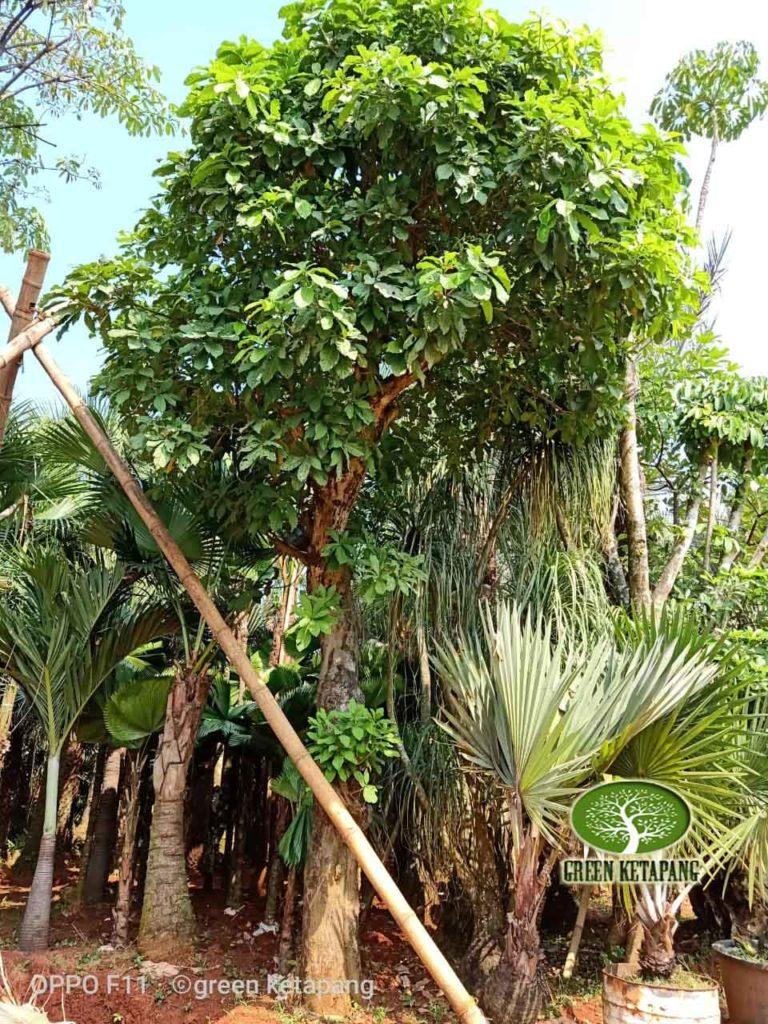 Jual Pohon Loa Pucung