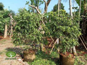 Jual Pohon Nagasari