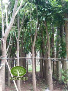 Jual Pohon Tabebuya Bunga Murah