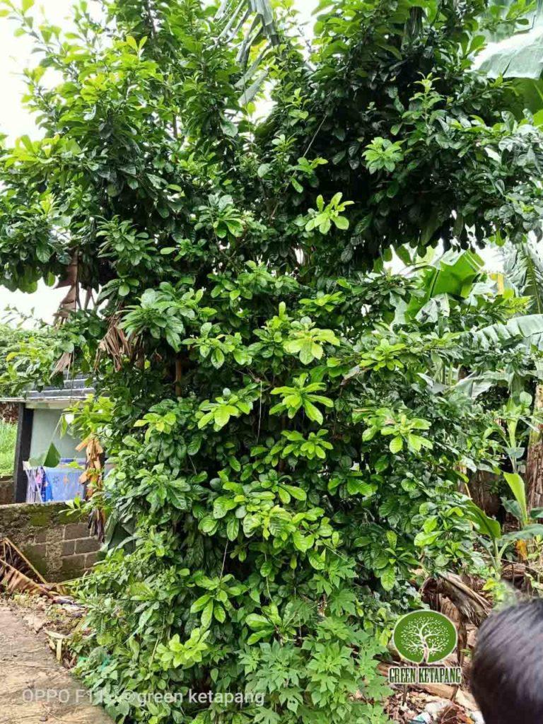 harga pohon berenuk