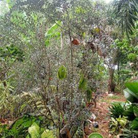 harga pohon zaitun
