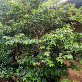 jual pohon anggur brazil