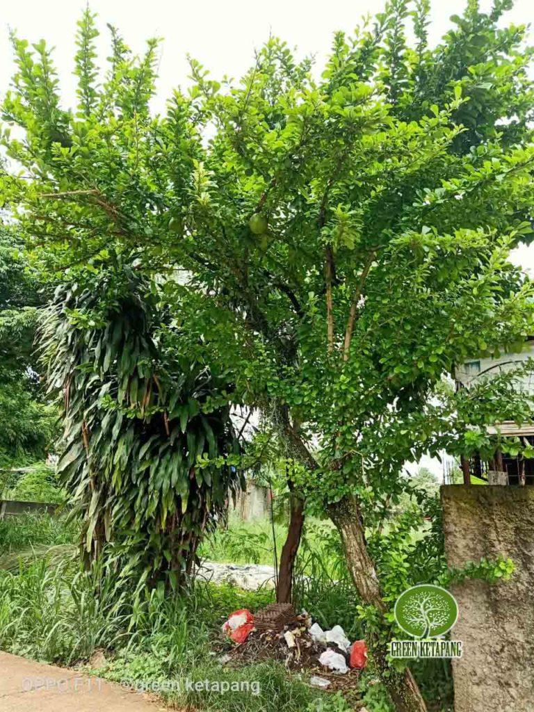 jual pohon berenuk