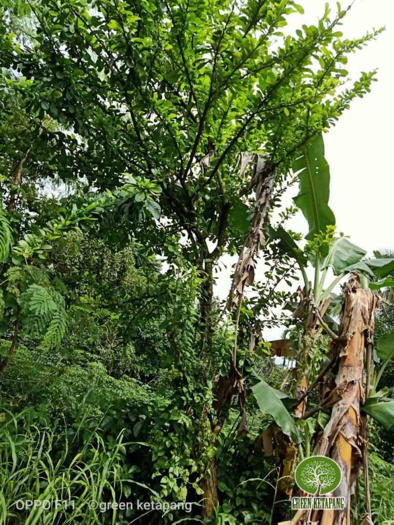 jual pohon maja